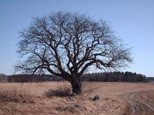 pokok tua